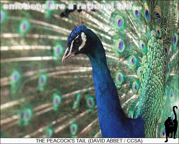 Blauer Pfau (P. cristatus), Männchen bei der Balz